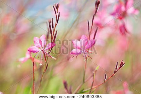 Close-up of beautiful small pink flowers ( Siskiyou Pink Gaura) in the in the sunlight at  summer  morning.   Painterly colorful artistic image with  soft focus.