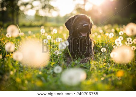 Portrait of black mutt dog during sunset on meadow with blossomed dandelions.