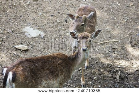 Portrait Of Two Young Fallow Deers.	(dama Dama) Is Herbivore Mammal Of The Order (artiodactyla)