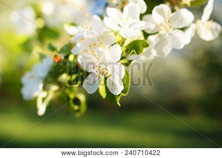 Close-up Of Flowers On Apple Branch In Apple Garden In Spring. Flowering Of Apples In Green Garden.