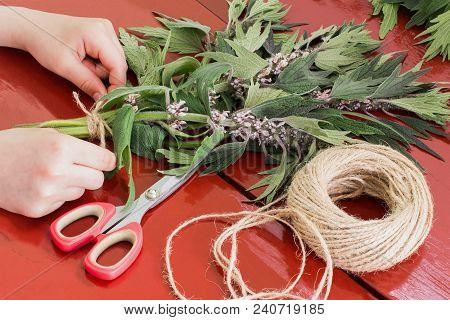 Girls Bind Motherwort (leonurus Cardiaca) In Bundles For Drying. Harvesting Medicinal Plants. Used I