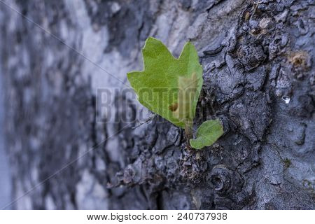 Detail On Bark Tree With Blurred Effect Purple Background Detail