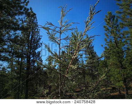 Cedar Sapling Surrounded By Ponderosa Pines Of A Southern Utah Mountain Forest