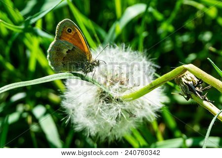 Nice Small Orange Butterfly Sits On Grass In Front Of Faded Dandelion