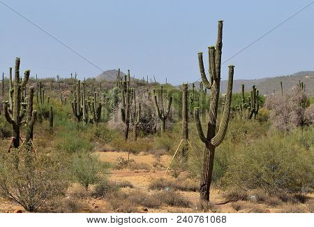 Grove Of Saguaro Cactus On A Hot Morning In Arizona With Mountains On The Horizon
