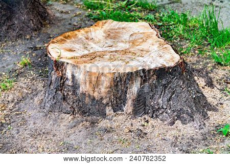 Fresh Stump, A Cut Tree, Roots From A Tree