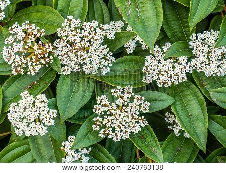 Background Shot Of Small White Flowers.  Macro Shot.