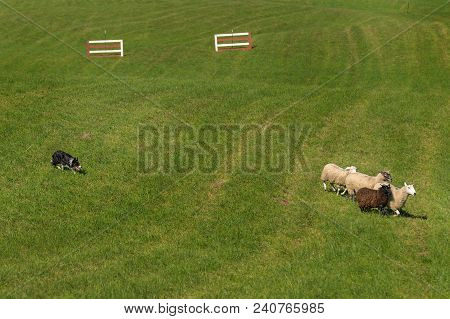 Sheep Dog Moves Sheep (ovis Aries) Past Fences - At Sheep Dog Herding Trials