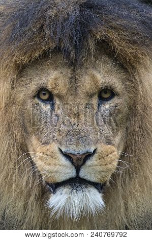 A Close-up Shot Of A Lion Looking Into The Camera.