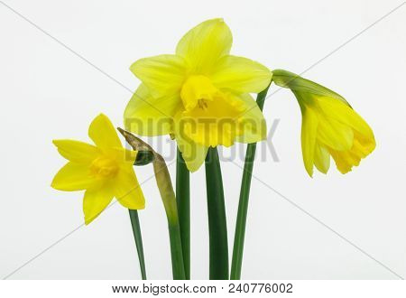 Beautiful Yellow Daffodils Isolated On White Background