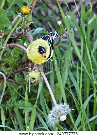 American Goldfinch, Eastern Goldfinch, Scientific Name: Spinus Tristis Phylum: Chordata,  Ornitholog