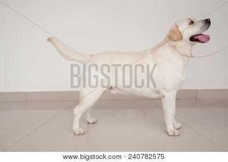 Labrador Retriever Is Standing On A Mirror Flooring. Pet Animals. Purebred Dog.