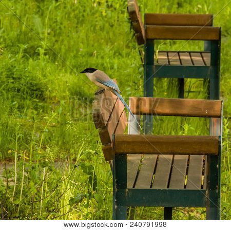 Azure-winged Magpie Perched On Back Of Park Bench In Pubic Park With Lush Green Grass Blurred In Bac
