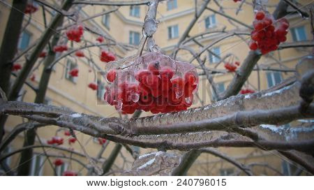 Closeup View To Branches Of Rowan Tree After Freezing Rain At Moscow, Russia