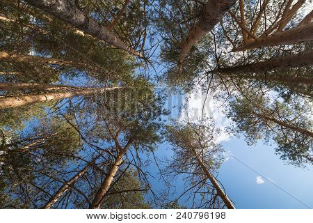 Tall Pine Tree Tops Against Blue Sky In A Sunny Day