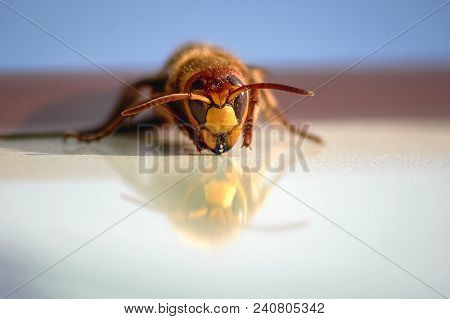 Close Up On A Hornet Insect On A White Board