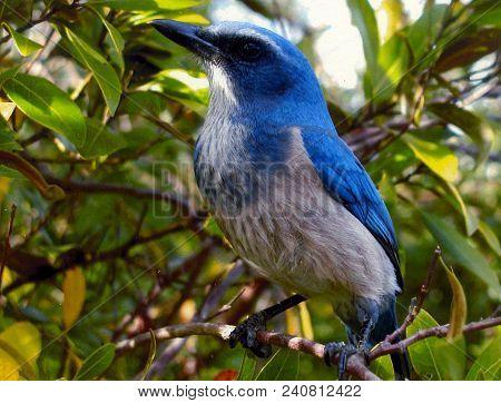 A Flight Away: Florida Scrub Jay Sitting On Branch, Florida