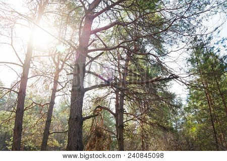 Sun in the Beautiful Summer Pine Forest