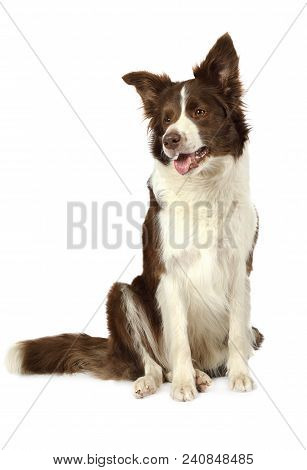 Purebred Collie Border Breed Dog, Three Years Old, Sitting And Looking Away Isolated On White Backgr
