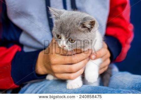 Boy Holds On His Hands  Small Gray Kitten Scottish Fold. Attractive  Pure-bred Kitten Under  Protect
