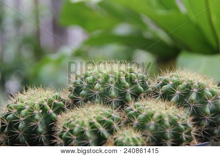 Caktus. This Article Is About The Plant Family. For The Former Genus Cactus, See Mammillaria, Meloca