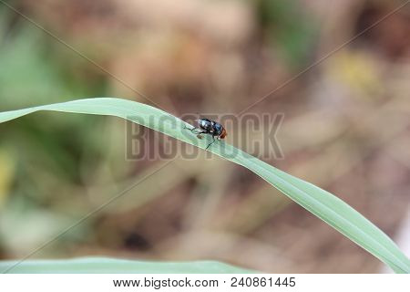 Green Bottle Fly. The Name Green Bottle Fly Or Greenbottle Fly Is Applied To Numerous Species Of Cal