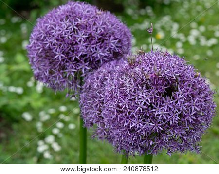Allium Cristophii Commonly Known As Star Of Persia Purple Flower Is A Herbaceous Perennial Plant** N