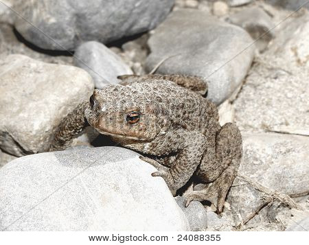 Toad (frog) sitting between the stones side view poster