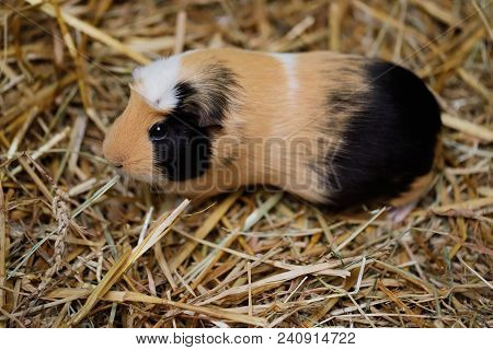 Close-up Of Black-white-brown Adult Domestic Guinea Pig (cavy, Cavia Porcellus)