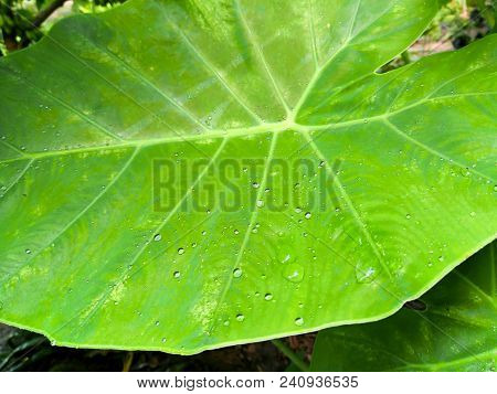Giant Alocasia Tree. Water Drops On The Leaves.