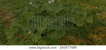 Beautifully Sunlit Ginkgo Leaves With Shallow Dof. Outdoor Ginkgo Biloba Leaves , Closeup.