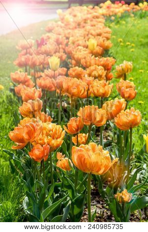 Colorful Orange Tulips Flowers Blooming In A Garden