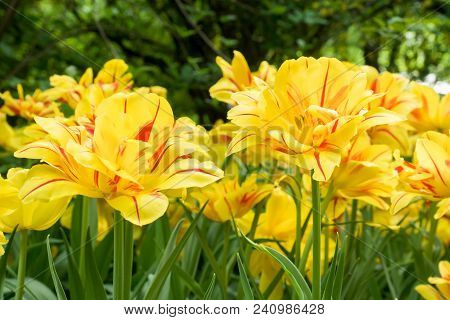Colorful Yellow Tulips Flowers Blooming In A Garden