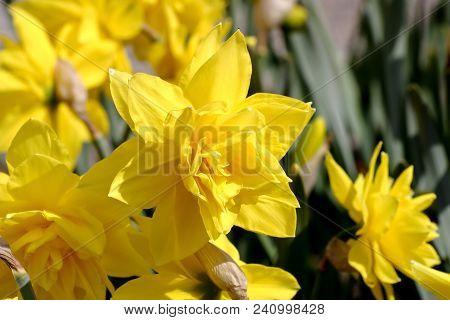 Narcissus, Daffodil Golden Ducat (narcissus, Amarylli Daeceae), Flowers In Spring. Daffodils Occur N
