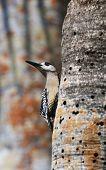 West Indian Woodpecker (Melanerpes superciliaris) . Cuba poster