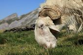 Close-up image of a ram grazing on a high altitude pasture in Pyrenees mountains. poster