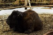 The American bison or simply bison also commonly known as the American buffalo or simply buffalo.The American bison is a North American species of bison that once roamed the grasslands of North America in massive herds. poster