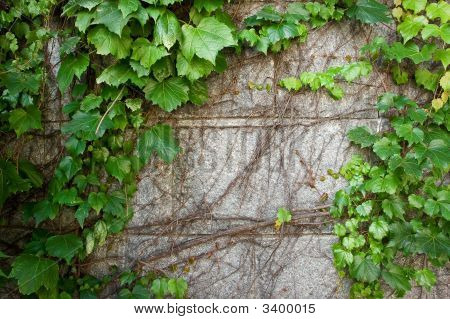 Green Boston Ivy Creeps Up Old Curved Stone Wall