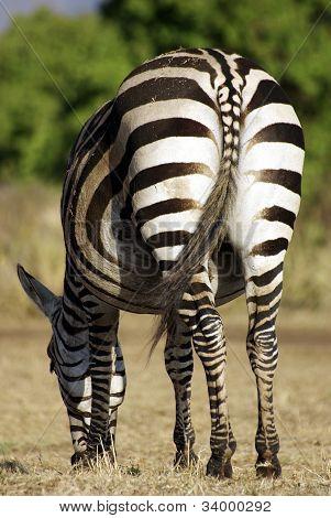 Wild Common Zebra Feeding