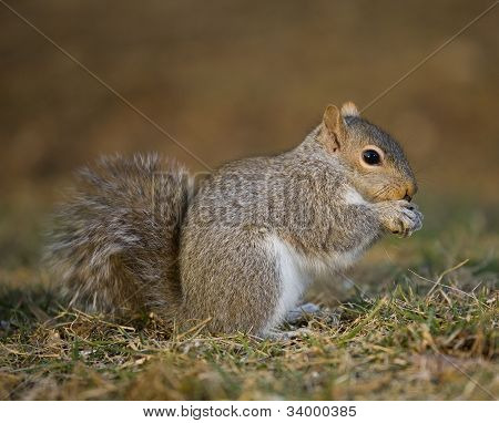 Grounded Tree Squirrel
