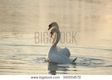 Swans on lake dawn sunrise sun sunset sunshine morning orange Nature background. Nature background Nature background Nature background water pond dusk Nature background romantic Nature background couple two swan Nature background. Nature background.