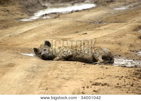 Hyena Resting In A Puddle