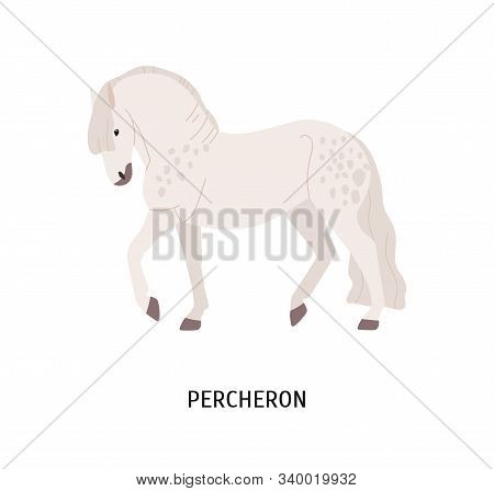 Percheron Breed Horse Flat Vector Illustration. Beautiful Muscled Grey Spotted Stallion Isolated On