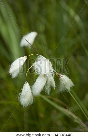 fructification cotton-grass in grass on bog, macro poster