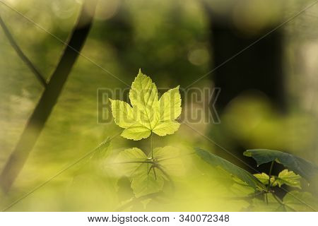 Maple leaf spring forest sunset Nature background Nature background foliage twig branch trees Nature background. Nature background Fresh green spring leaves vibrant color Nature background Fresh yellow leaf outdoor Nature background Nature background.