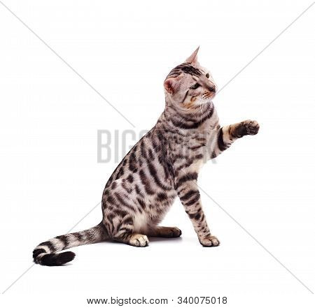 Bengali Cat Posing, Beautiful Cat Of Bengali Breed, Young Domestic Cat, Exhibition Animal, Cat On A
