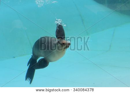 Portrait Of A Sea Lion (zalophus Californianus) Swimming Underwater