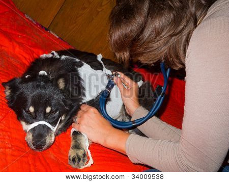 Veterinarian inspects a sick stray dog at the shelter poster