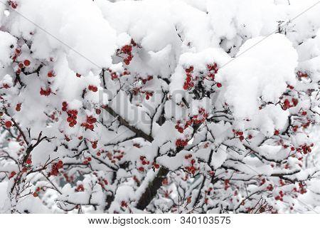 Rowanberry Tree Under The Snow. Winter Snowy Park.