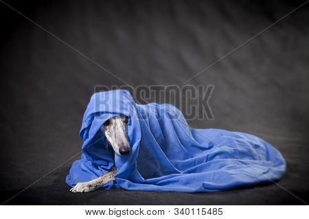 light-brindle very beautiful fawn dog of breed Whippet wrapped in blue-blue fabric poster
